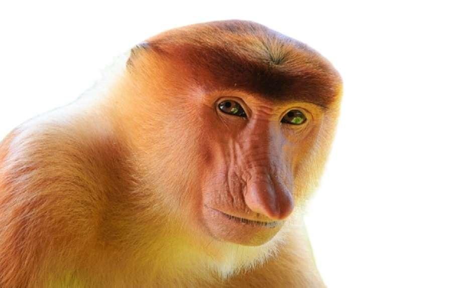 Scimmia dal naso dorato